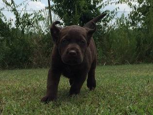 Labrador Retriever Puppy for sale in POCOLA, OK, USA