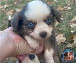 Small #1 Miniature Australian Shepherd