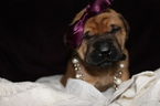 Mastiff Puppy For Sale in BARTOW, FL