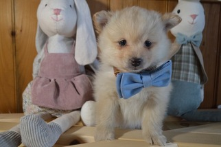 Pomeranian Puppy for sale in HONEY BROOK, PA, USA