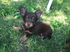 Chihuahua Puppy For Sale in ROYAL, NE, USA