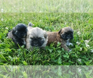 Shih Tzu Puppy for Sale in MOUNTAIN GROVE, Missouri USA