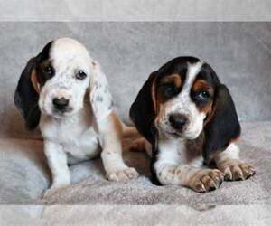 Basset Hound Puppy for Sale in LAKESIDE, California USA