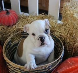 Bulldog Puppy For Sale in MURRIETA, CA