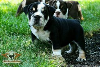 Bulldog Puppy for sale in NEW WINDSOR, NY, USA