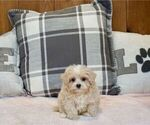 Puppy 1 Maltipoo-Poodle (Miniature) Mix
