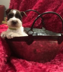 Schnauzer (Miniature) Puppy For Sale in WEST BRANCH, IA, USA