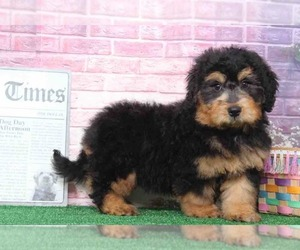 Bernedoodle Puppy for sale in BEL AIR, MD, USA