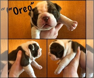 Olde English Bulldogge Puppy for Sale in MASSILLON, Ohio USA