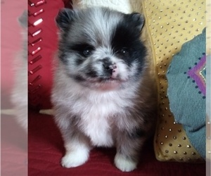 Pomeranian Puppy for Sale in DECATUR, Texas USA