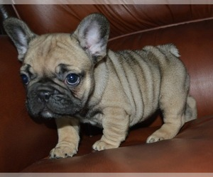 French Bulldog Puppy for sale in Myadzyel, Minsk, Belarus