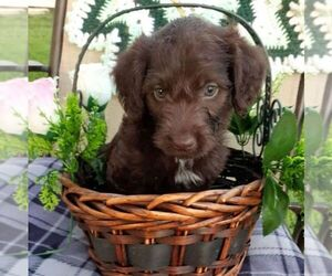 Labradoodle-Poodle (Standard) Mix Puppy for sale in CALLAO, VA, USA