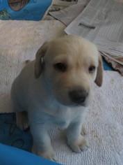 Labrador Retriever Puppy For Sale in SAMMAMISH, WA, USA