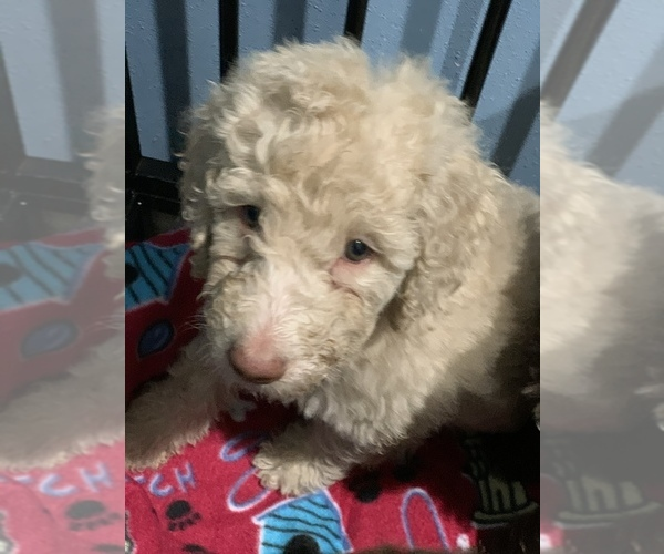 Medium Photo #15 Poodle (Standard) Puppy For Sale in TAMPA, FL, USA