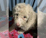 Small Photo #15 Poodle (Standard) Puppy For Sale in TAMPA, FL, USA