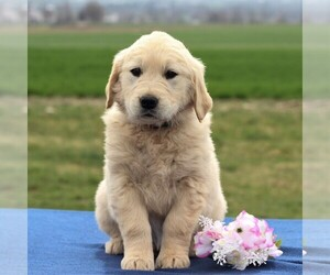 English Cream Golden Retriever Puppy for sale in BIRD IN HAND, PA, USA
