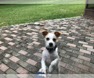 Poogle-Wapoo Mix Puppy for Sale in VALRICO, Florida USA