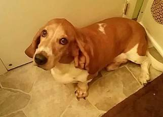 Basset Hound Dog For Adoption in ELLETTSVILLE, IN, USA