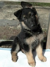 Pure Bred German shepherd puppies ready April 1st