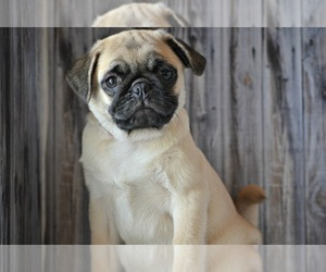 Pug Puppy for sale in NILES, MI, USA