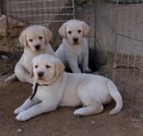 Labrador Retriever Puppy For Sale in CALIENTE, California,