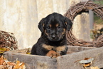 German Shepherd Dog-Rottweiler Mix Puppy For Sale in FREDERICKSBURG, OH, USA