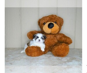 Shih Tzu Puppy for Sale in AMITY, North Carolina USA