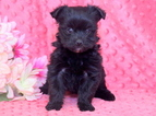 Morkie Puppy For Sale in MOUNT JOY, PA, USA