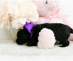 Small #6 Pomeranian-Poodle (Toy) Mix