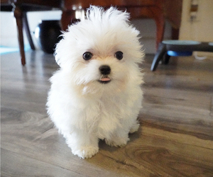 Maltese Puppy for Sale in LOS ANGELES, California USA