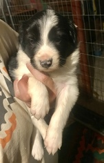 Border Collie Puppy For Sale in KUTZTOWN, PA, USA