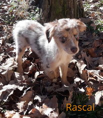Miniature Australian Shepherd Puppy For Sale in SMITHVILLE, OK, USA