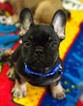 French Bulldog Puppy For Sale in BAY VIEW, WI, USA