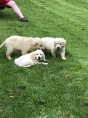 Golden Retriever Puppy For Sale in WILMINGTON, DE