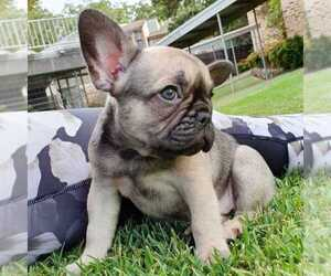 American French Bull Terrier Puppy for sale in CLIFTON, VA, USA