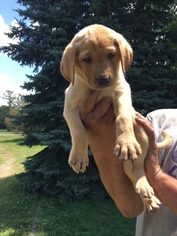 Labrador Retriever Puppy For Sale in WATERTOWN, WI, USA