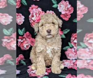 Sheepadoodle Puppy for sale in GLEN ROCK, PA, USA