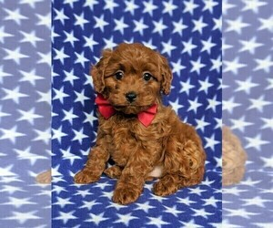 Cavapoo Puppy for sale in QUARRYVILLE, PA, USA