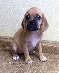 Puggle Puppy For Sale in AURORA, CO