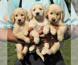 Golden Retriever Puppy for Sale in VERMONTVILLE, Michigan USA