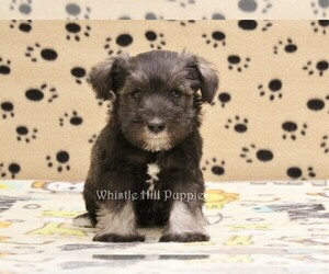 Schnauzer (Miniature) Puppy for sale in DENVER, PA, USA