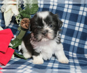 Shih Tzu Dog for Adoption in SHILOH, Ohio USA