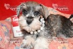 Schnauzer (Miniature) Puppy For Sale in SANGER, TX, USA