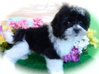 ShihPoo Mix Puppy For Sale in HAMMOND, IN