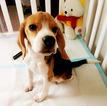Beagle Puppy For Sale in SAN FRANCISCO, CA, USA