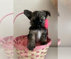 Pomeranian-Yo-Chon Mix Puppy for sale in LAS VEGAS, NV, USA
