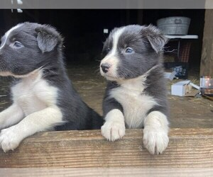 Border Collie Puppy for sale in MYERSTOWN, PA, USA