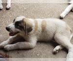 Small #416 Anatolian Shepherd-Maremma Sheepdog Mix
