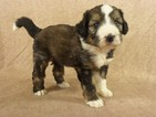 Bernese Mountain Poo Puppy For Sale in RIVERSIDE, IA, USA