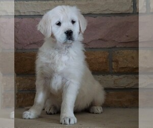 English Cream Golden Retriever Dog for Adoption in FREDERICKSBG, Ohio USA
